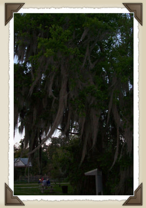 Tree near Lake Alice covered with Spanish Moss.