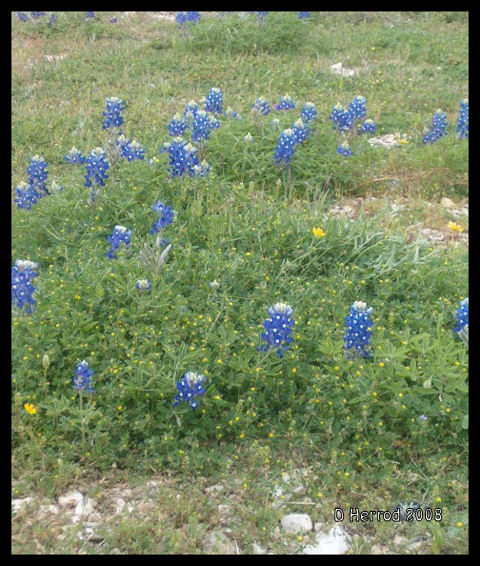 Bluebonnets in front of Blueridge Church