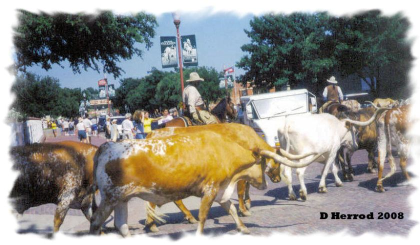 The Ft.Worth Herd on its afternoon drive through Stockyards.