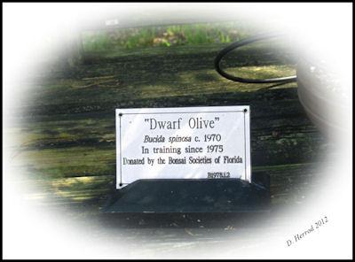 Dwarf Olive tree